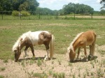 Miniature horses raised by nuns in Brenham